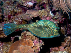 Scrawled Cowfish have pretty colors
