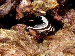 Juvenile Spotted Drum