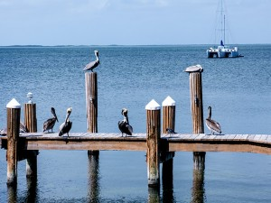 Brown Pelicans at Big Chill in Key Largo