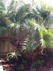 New look for the Pygmy Date Palm
