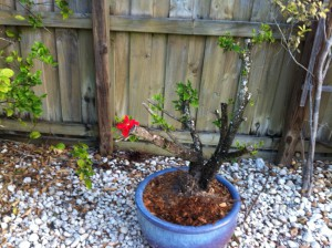 Red hibiscus after being dramatically cut back