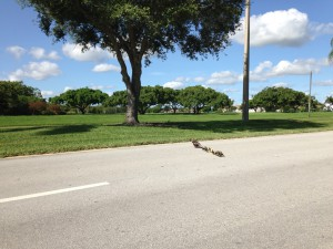 Duck and ducklings crossing four lanes of road.