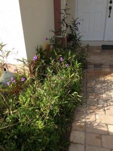 Purple Flowers in Front Yard