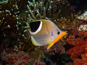 A Type of Butterfly Fish From Fiji